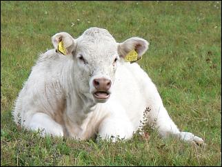 Pastevecký chov skotu - svratka